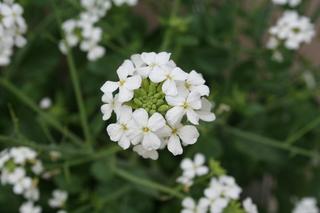 大根の花.JPG
